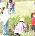 どんどん稲を刈っていく子どもたち